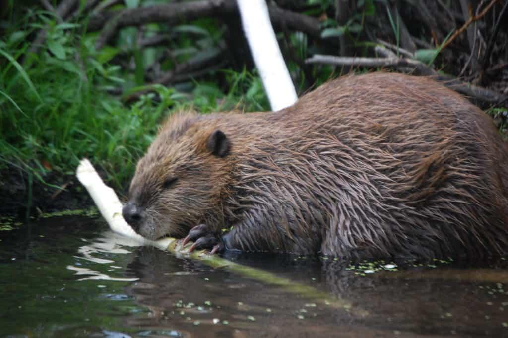 Beaver at Teton National Park